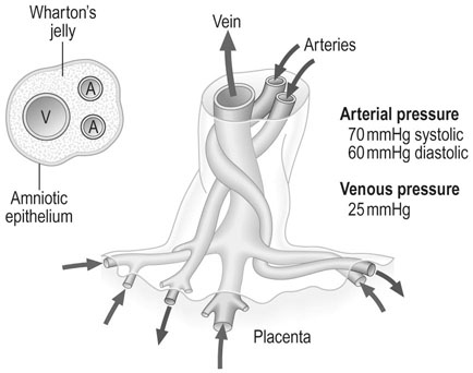 This image has an empty alt attribute; its file name is placental-and-fetal-growth-and-development-clinical-gate-45-vascular-structure-of-the-umbilical-cord-the-vein-carries-oxygenated-blood-and-the-two-arteries-carry-deoxygenated-blood.jpg